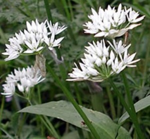 Flowering ramsons or wild garlic