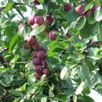 Hedgerow plums